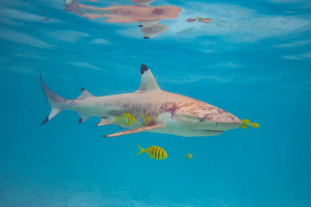 a black tip shark in the lagoon of Bora Bora