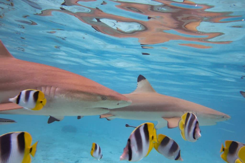 black tips sharks in the lagoon of Bora Bora