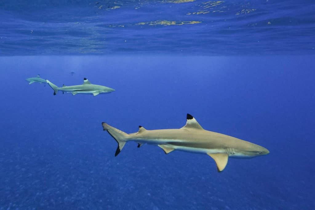 black tip sharks in the lagoon of Bora Bora